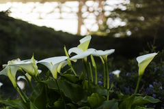 Calla Lilys in Golden gate bridge Royalty-vrije Stock Foto's