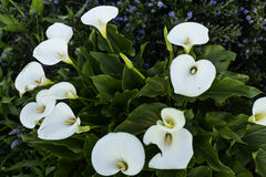 Calla Lilys in San Francisco Stock Image
