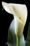 Calla no preto Foto de Stock Royalty Free