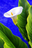 Calla over blue Royalty Free Stock Photos