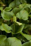 Calla palustris Stock Photos