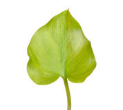 Calla palustris leaf Stock Image