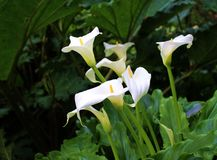 Calla palustris oder Calla Lily Plant Stockfotografie