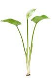 Calla palustris plant Royalty Free Stock Photo