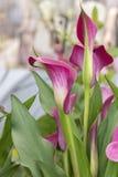 Calla rosa nel giardino fotografia stock