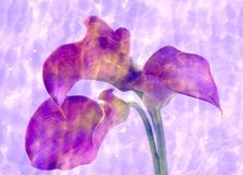 Calla-sea Royalty Free Stock Photo