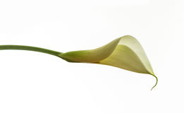 Calla Royalty Free Stock Image
