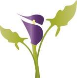 Calla violette Photographie stock