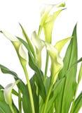 calla vita isolerade liljar royaltyfria foton