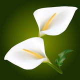 Calla Wite λουλούδια απεικόνιση αποθεμάτων
