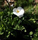 Calla witte bloem Royalty-vrije Stock Afbeelding