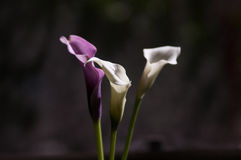 3 Calla& x27 ; s Images stock