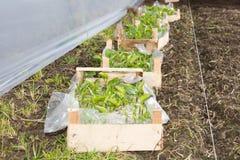 Callabirnen vorbereitet für das Pflanzen im Gewächshaus Lizenzfreie Stockfotos