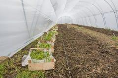 Callabirnen vorbereitet für das Pflanzen im Gewächshaus Lizenzfreies Stockfoto