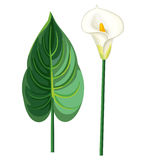 Callablad och blomma Stock Illustrationer