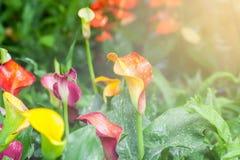 callakortdesignen blommar liljan annan valentin för s-malluniversal Royaltyfri Bild