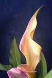 callalavendel lilly Royaltyfria Foton