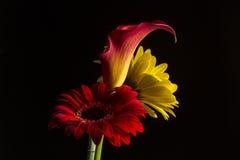 Callalilja med en röd och en gul gerbertusensköna Royaltyfria Foton