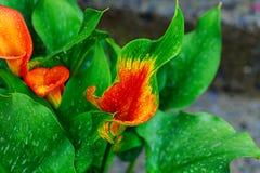 callalilja med för callalilja för droppar det orange partiska bladet som prydnaden Royaltyfri Foto