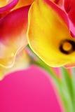 Callas Stock Image