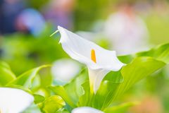 Calla Lily Flower. Callas are also known by such other common names viz., arum lily, trumpet lily, Pig lily, or Miniature Calla Lily. Big white cone shaped stock photo