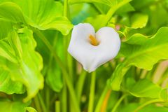 Calla Lily Flower Stock Images
