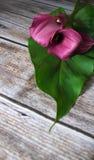 Callas Stock Photography