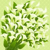 Callas. Floral background. Stock Photography