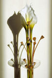 Callas flower. Arrangement with its shadow on the wall royalty free stock image