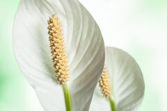 Callas Lily Stock Photography