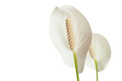 Callas Lily Royalty Free Stock Images