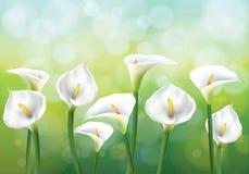 Callas sur le backgraund vert Image stock