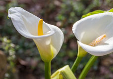 Callas. Two flowers of the Calla plant Stock Photo
