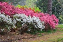Callaway tuiniert de Bloeiende Berg Georgië van de Azalea'spijnboom stock foto