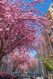 Calle con la flor de cerezo en la ciudad vieja de Bonn, Alemania Fotos de archivo