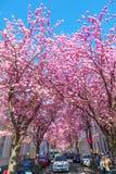 Calle con la flor de cerezo en la ciudad vieja de Bonn, Alemania Foto de archivo