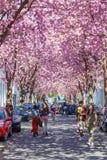 Calle con la flor de cerezo en la ciudad vieja de Bonn, Alemania Fotografía de archivo libre de regalías