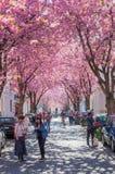 Calle con la flor de cerezo en la ciudad vieja de Bonn, Alemania Imagen de archivo libre de regalías