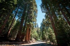 Calle del árbol de la secoya Fotos de archivo libres de regalías