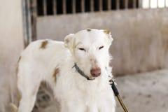 Calle del perro de caza Imágenes de archivo libres de regalías