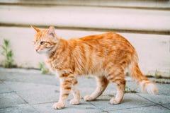 Calle joven roja de Cat Walking Outdoor At Summer foto de archivo