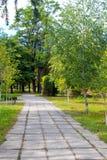 Callejón con los árboles de abedul jovenes en parque Fotografía de archivo libre de regalías