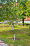 Callejón con los árboles de abedul jovenes en parque Foto de archivo