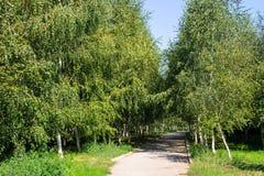 Callejón con los árboles de abedul jovenes en un parque Foto de archivo