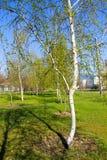 Callejón con los árboles de abedul jovenes en un parque Imagenes de archivo