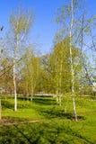 Callejón con los árboles de abedul jovenes en un parque Fotografía de archivo
