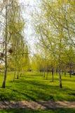 Callejón con los árboles de abedul jovenes en un parque Foto de archivo libre de regalías