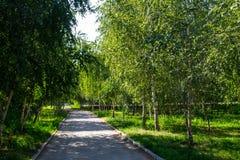 Callejón con los árboles de abedul jovenes en un parque Imagen de archivo libre de regalías