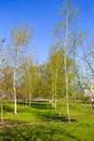 Callejón con los árboles de abedul jovenes en un parque Fotos de archivo