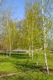 Callejón con los árboles de abedul jovenes en un parque Fotos de archivo libres de regalías